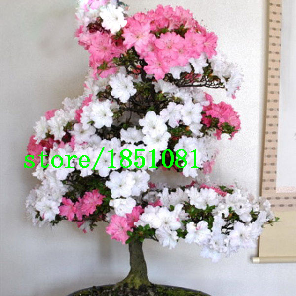 Rare bonsai pink and white azalea seeds looks like sakura japanese rare bonsai pink and white azalea seeds looks like sakura japanese cherry blooms azalea flower seeds 200pcs free shipping in bonsai from home garden on mightylinksfo Images