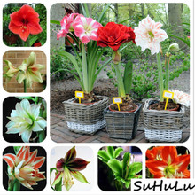 купить Hot sale 100 Pcs/Bag Amaryllis Bonsai Balcony garden Lily Plant and Bonsai Flower pots For Home Indoor Plants Flowers Semillas дешево