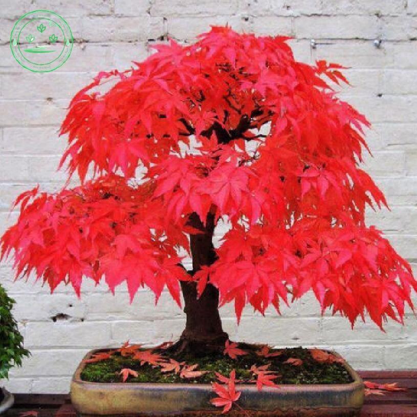 planta en maceta bonsai semillas de arce rojo japonÉs acer