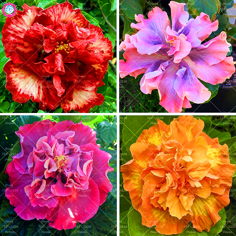 100 Pcs Double Petals Hibiscus Seeds Perennial Flower Plants Easy To Grow Home Garden Flowering Plants