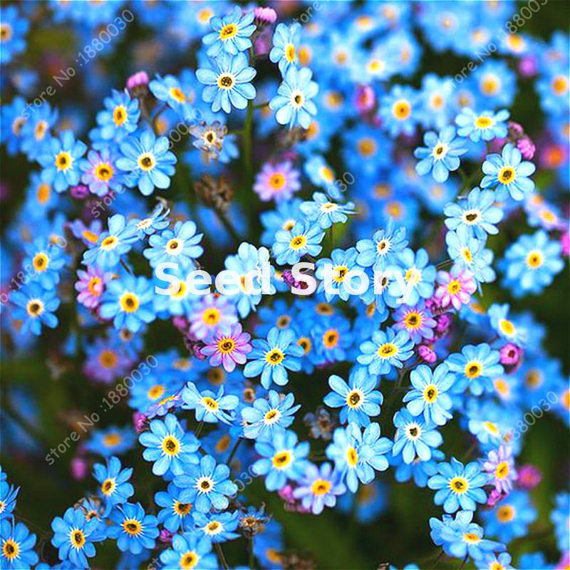 100% True Seed Magnificent Blue Myosotis Sylvatica Seeds Home Garden Flowers Potted Bonsai 100pcs Do Not Forget Me
