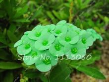 100Pcs Euphorbia Balsamifera Lactea Succulent Wolfsmilk Seeds