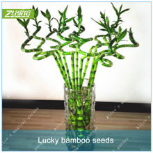 Popular Chinese Bamboo Tree Buy Cheap Chinese Bamboo Tree Lots From