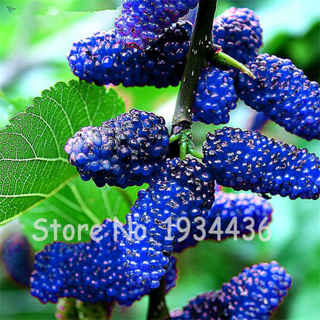 Blackberry Fruit Tree Images