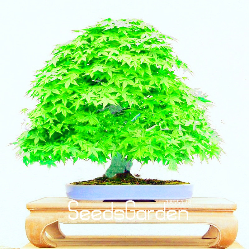 Very Rare American Blue Maple Bonsai Tree 20 Seeds Pack Rare Japanese Tree Diy Yard Garden Outdoor Living Items Plants Seeds Bulbs