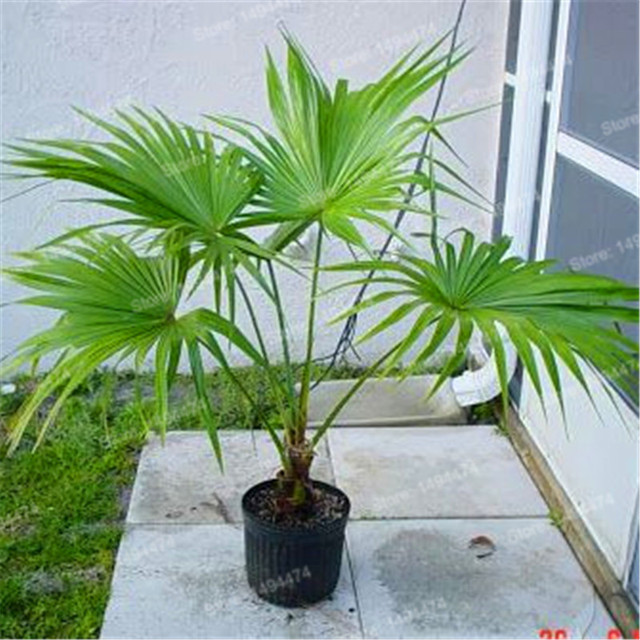 200pcs Palm bamboo Seeds Lady Palm tree Indoor Plants Excelsa ...