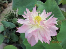 2 Seed / Pack,  Heirloom Strong Fragrant White Lotus with pink  Light Red Color Seeds
