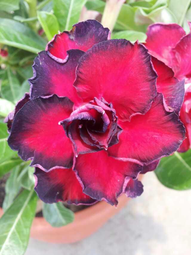 100% Fresh Real Adenium Obesum semillas - Bonsai Desert Rose Flower Plant Sementes Z28
