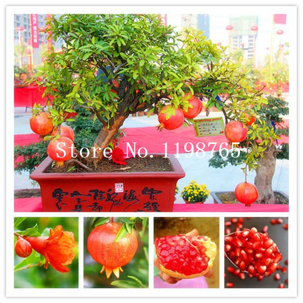 online buy wholesale pomegranate tree from china pomegranate tree, Natural flower