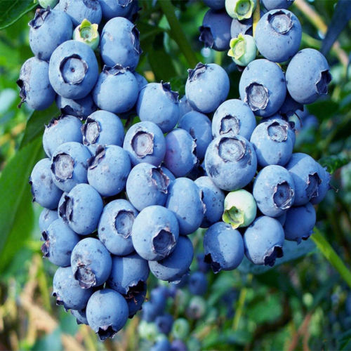 Aliexpress Com Buy High Bush Big Blueberry 100 Quot Big