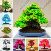 20 Pcs Blue Fire Maple Bonsai Tree  Rare Yellow Red Japanese Plants For Home Garden Flower