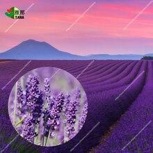 Provence Lavender purple Lavandula vanilla fragrant organic lavender plant flower couryard Bonsai100pcs/bag seeds