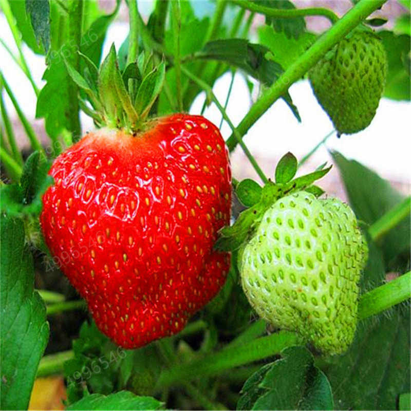 Best-Selling!300 pcs climbing strawberry bonsai Climbing Red Strawberry plant With SALUBRIOUS TASTE * NON-GMO Strawberry Mount