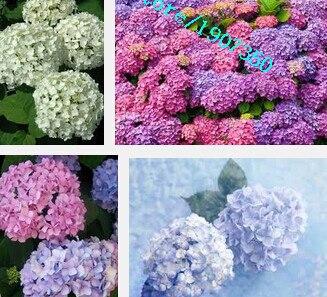 semillas semillas de flores de hortensia hydrangea macrophylla naturia jardn bonsai flor de la planta