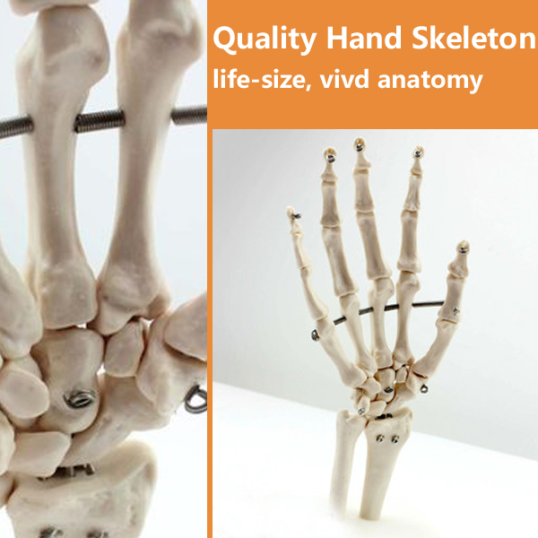 12349 CMAM-JOINT03 Life-Size Hand Joint Human Anatomical Models,Education Models life size hand joint with ligaments the palm of your hand with ligament model