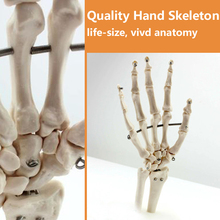 CMAM-JOINT03 Life-Size Hand Joint Human Anatomical Models,Education Models
