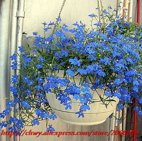 20seeds/bag Blue flax seed planting potted balcony hanging, beautiful, elegant, and free ...