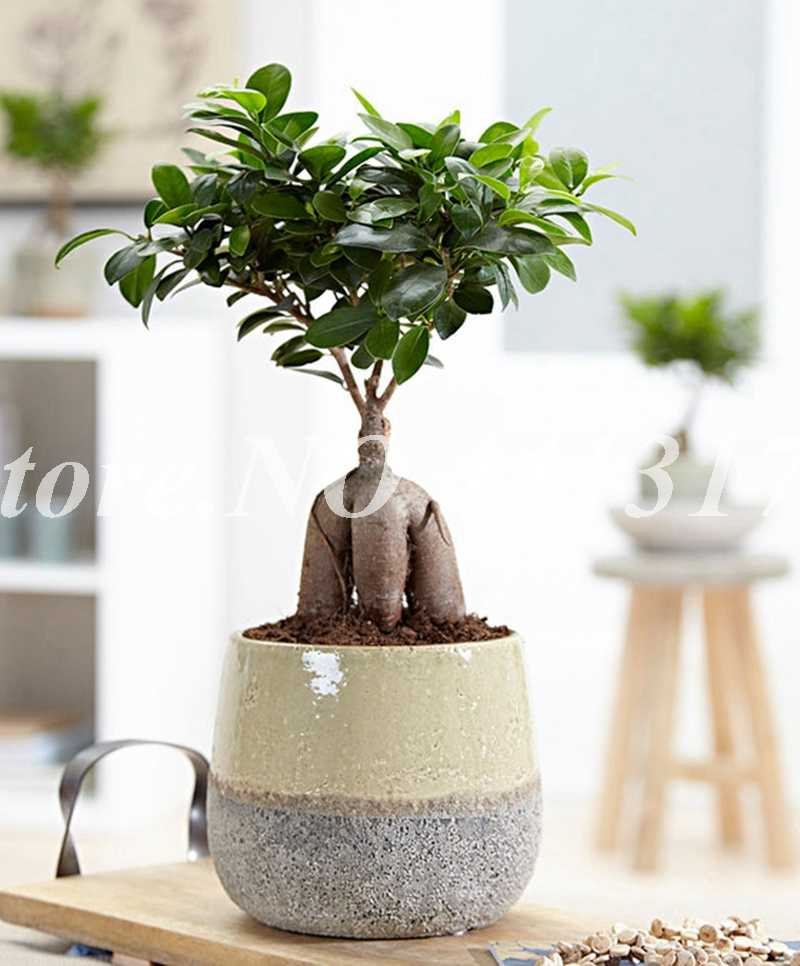 20 Pcs Chinese Rare Ficus Microcarpa Bonsai Tree Evergreen Potted Ginseng Banyan Home Garden Outdoor