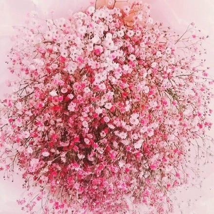 50 pink organic flowers babys breath seeds gypsophila resistance to 50 pink organic flowers babys breath seeds gypsophila resistance to pests and diseases bonsai j007 in bonsai from home garden on aliexpress alibaba mightylinksfo