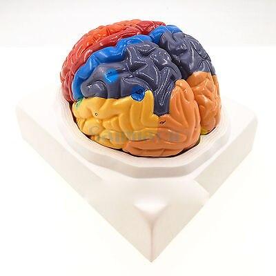 2 Teil Farbe Menschliche Gehirn Funktion Domain Anatomie ...