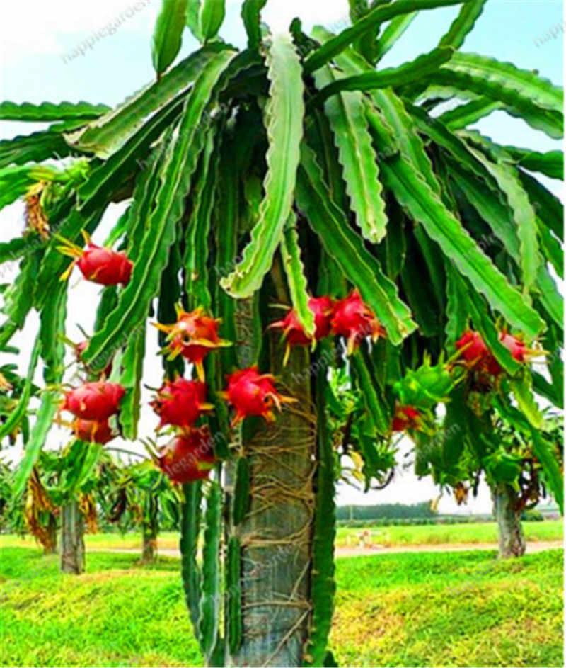 1000 шт./пакет питая бонсай Драконий фрукт сад дерево в горшке фруктовое дерево растение вкусные сочные тропические фрукты Емкость