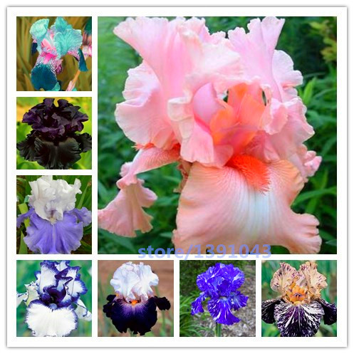 100pcs iris seeds, Iris orchid seeds, Rare Heirloom Tectorum Perennial Flower Seeds, 24 colours to choose, plant for home gatden