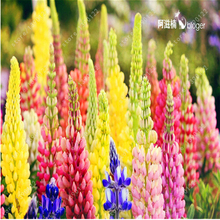 100 seeds/bag lupin (Lupine) seeds,lupin iii,beautiful flower seeds,lupine plants budding rate 98% for home garden planting