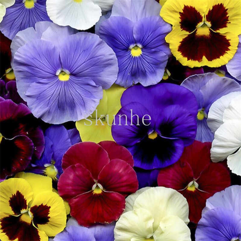 Detail Feedback Questions About Pansy Four Seasons Balcony Potted