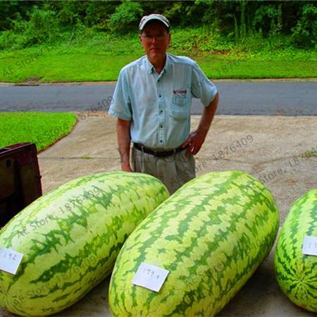 Большая Акция! гигантский арбуз бонсай 50 шт. фрукты Флорес овощей интерес легко посадить для сада и фермы Семья завод, # S7