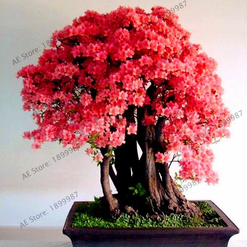 10 unids/pack flores de cerezo japonés sakura semillas, perenne