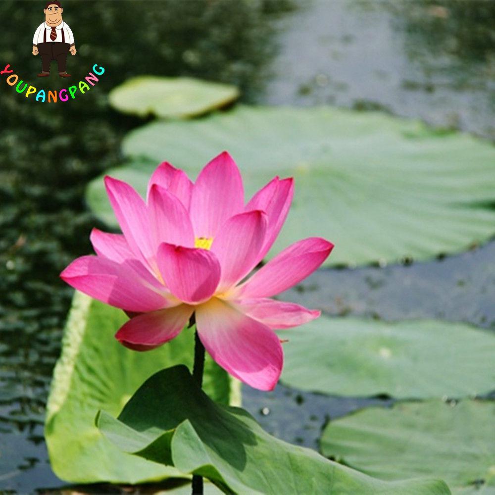 5 Pcsbag True Lotus Flower Bonsai Hydroponic Aquatic Plants Lotus