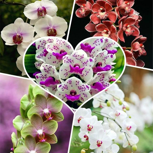 300 piezas raras escalada cymbidio orquídea bonsái mezcla mariposa orquídea Phalaenopsis flor plantas ornamentales jardín balcón olla