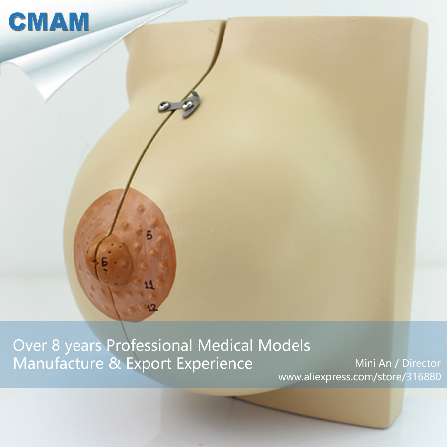 12459 CMAM-ANATOMY21 Female Breast Section Anatomical Model in Resting Period,2 Parts, Anatomy Models > Resting Stage 12459 cmam anatomy21 human feminine stationary phase breast model medical science educational teaching anatomical models