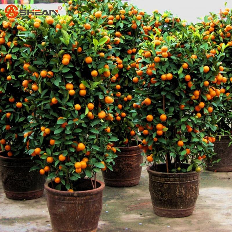 achetez en gros mini fruits arbres en ligne des grossistes mini fruits arbres chinois. Black Bedroom Furniture Sets. Home Design Ideas