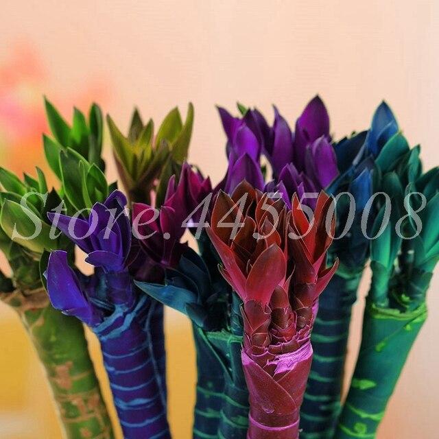 Grande Promozione! 40 pz/borsa Fresco Coperta Di Bambù Fortunato Bonsai Casa Buona Fortuna di Bambù Vaso di 100% Vero Pianta In Vaso Per La Casa Giardino