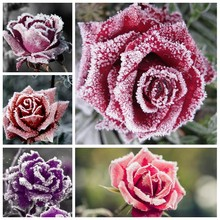 100 Pcs Holland Snow Rose Indoor Perennial Indoor Bonsai Potted Charming Living Room Rosas Flower Home Garden Planting(China)