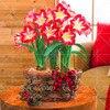 100pcs Blue Hippeastrum Flower Bonsai Plants (not bulbs) Perennial Indoor Flowering Potted Big Flower Home Garden 5
