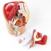 Репродуктивного здоровья ПВХ Мужской мочеполовой таза Системы 4 Запчасти мужской таз Дисплей модель для медицинской школы учебное пособие