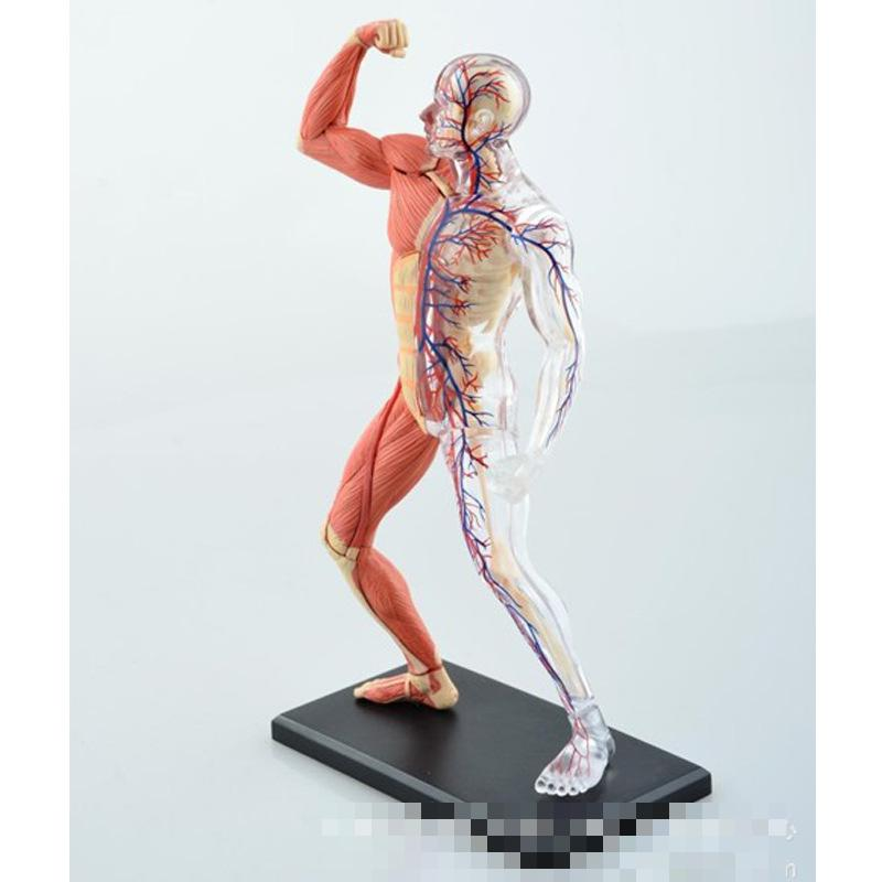 aliexpress : buy medical use human anatomy models medical, Muscles