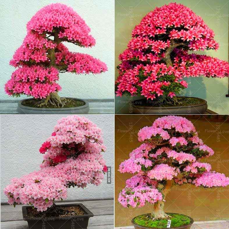 20pcs Japanese Sakura Bonsai Plants Cherry Blossoms Flower Bonsai Tree Indoor Flowering Potted Plant For Home Garden Flowers Buy At The Price Of 0 33 In Aliexpress Com Imall Com