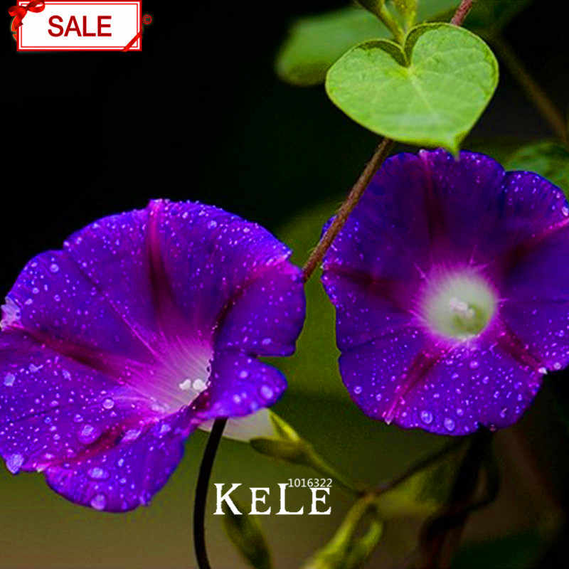 New Fresh Purple Ipomoea Nil bonsai Morning Glory garden Flowering Plants Charming Chinese Flowers, 50 Particles/pack,#I3OBV
