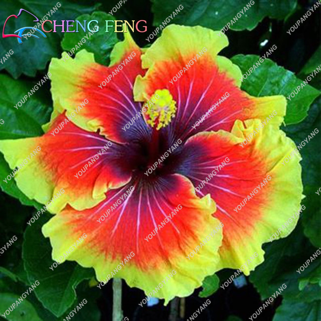 US $0.7 10% OFF|100pcs/bag Hibiscus Flower bonsai Giant Hibiscus bonsai Hibiscus House Plant Html on orange house plant, colocasia house plant, lantana house plant, baobab house plant, kentia palm house plant, cereus house plant, spanish moss house plant, bottle palm house plant, taro house plant, sorrel house plant, cabbage house plant, pineapple house plant, papaya house plant, acacia house plant, vanilla house plant, cinnamon house plant, mandevilla house plant, blue ginger house plant, windmill palm house plant, periwinkle house plant,