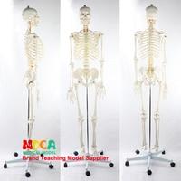 170CM human skeleton model white skeleton of spinal nerve Yoga medical teaching MGG304