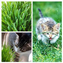 500 pcs /Bag Cat Grass Home Garden Lovely Foliage Plant Flower Indoor Bonsai Flower Pot Plant New wheat(China)