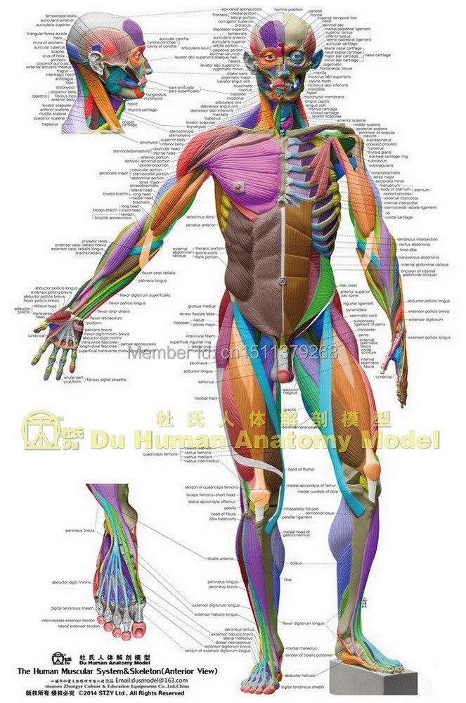 Human Anatomical Chart Muscular Systemanatomy Ecorche Wall Poster