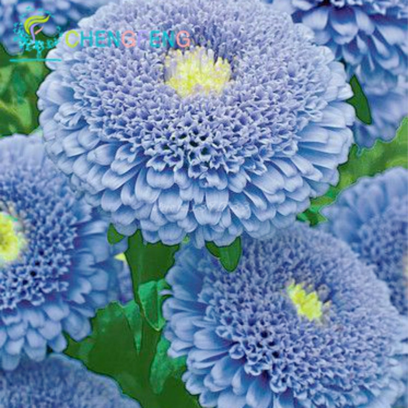 30 + Seeds Chinese Aster Seeds (callistephus) Give You A Garden Full Of Bright Summer Big Flowers Orginal Package Free Shipping