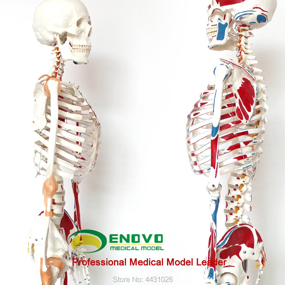 ENOVO Medical 170CM human skeleton model musculoskeletal specimen anatomy spine Department of orthopedics teaching aids