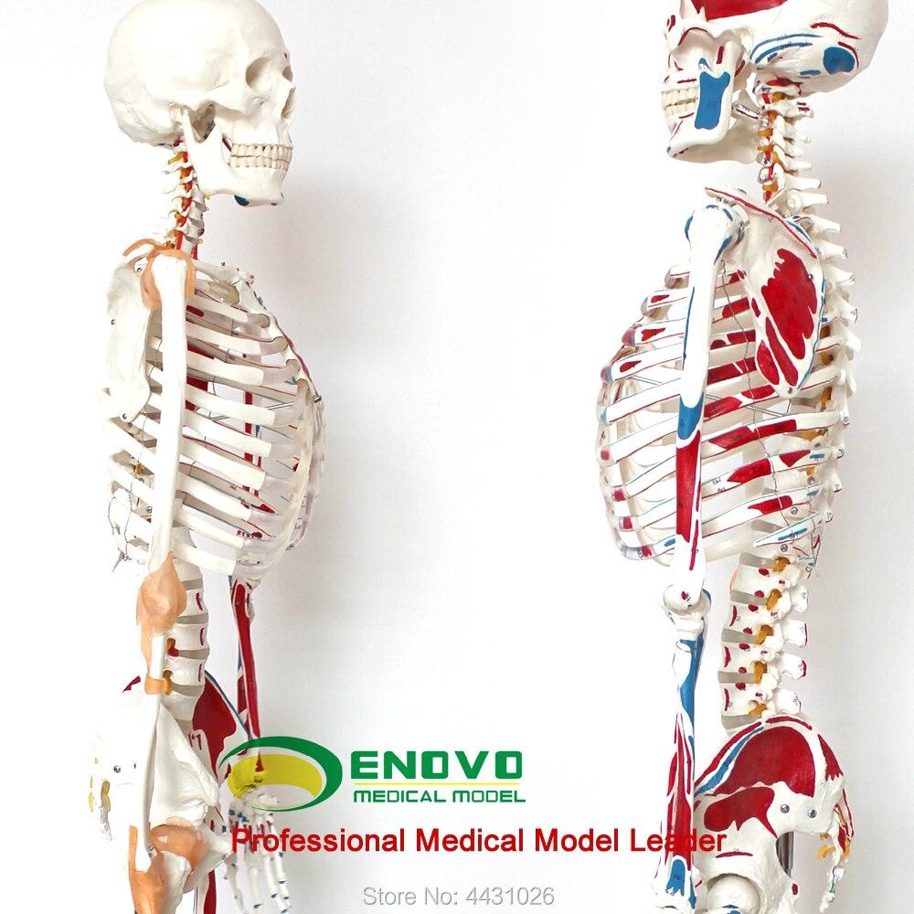 ENOVO Médical 170 cm humains. squelette modèle musculo-squelettiques spécimen anatomie colonne vertébrale Ministère de l'orthopédie enseignement sida