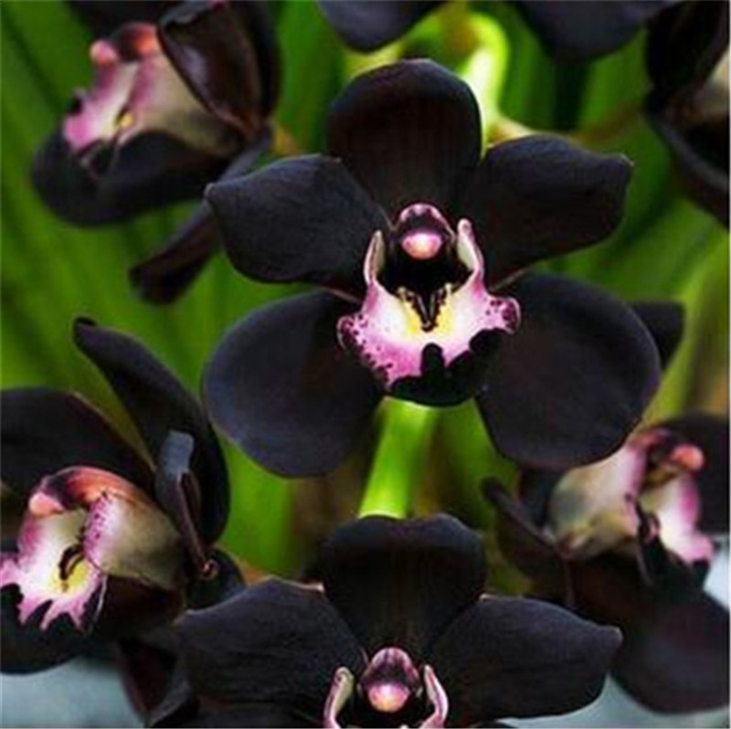 Detail Feedback Questions About 200 Pcs Bag Rare Black Orchid