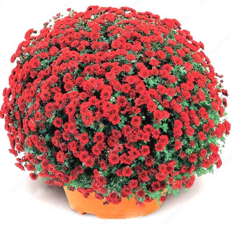 200 rare pçs/saco petúnia bonsai flor, 24 cores qualquer escolha, adequado para casa & jardim plantio de plantas frete grátis